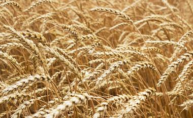 Ripe Stalks of Wheat