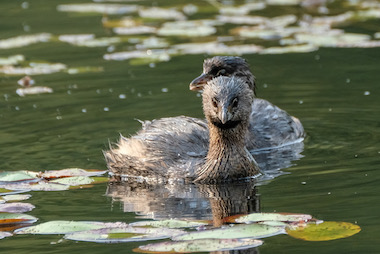 The Pied-Billed Grebe